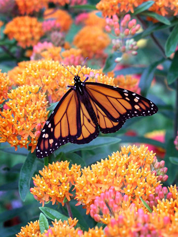 an analysis of monarch butterflies and butterfly weed Monarch butterflies take to the sky in mexico  after sequencing 101 butterfly  genomes, researchers found that just one gene appears  the genetic analysis,  published in this week's issue of the journal nature,  when butterflies could  more readily feast on milkweed host plants in the american midwest.