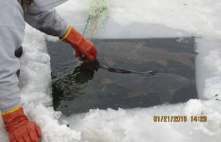 Radio tagging carp on Prior Lake in January 2016.