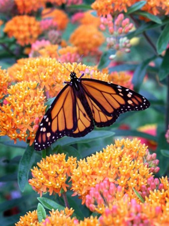 A Monarch Butterfly enjoys Butterfly Weed, a native plant.