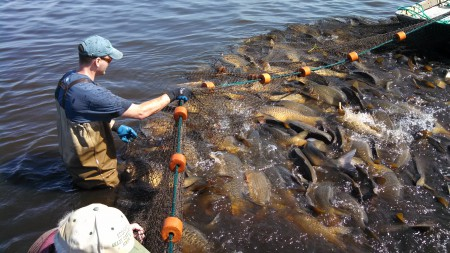 Carp Removal at Clam Lake