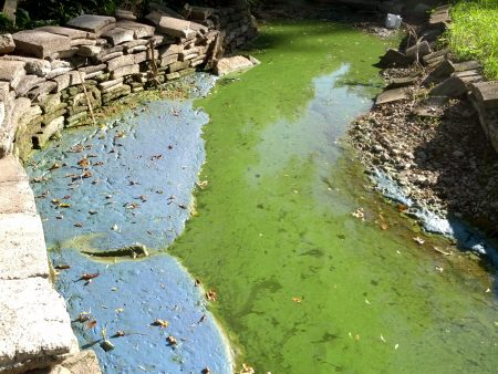 Blue-Green Algae in Spring Lake Outlet Channel 2013 (before Alum Treatment)