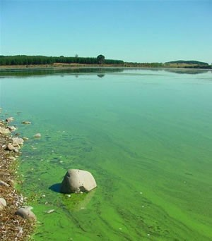 Blue-Green Algae (Photo Courtesy of RMB Labs)