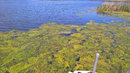 Filamentous Algae (non-toxic)