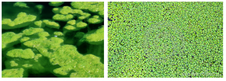 Algae bloom is on the left and duckweed is on the right.