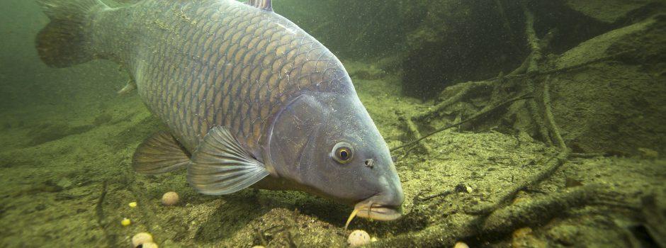 carp baiting corn